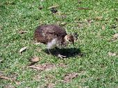 pic of peahen  - the peahen chick is looking for food in the grass - JPG