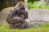 picture of gorilla  - Portrait of Western Lowland gorilla  - JPG