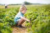 image of strawberry blonde  - Little boy on organic strawberry farm in summer picking berries - JPG