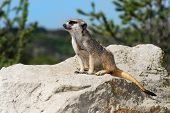 Meerkat Lookout Siting Patiently On A Big Stone