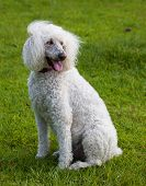 picture of standard poodle  - Standard sized poodle on the lawn with wind blowing her hair - JPG