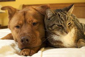 stock photo of cat dog  - dog and cat relaxing on the bed - JPG