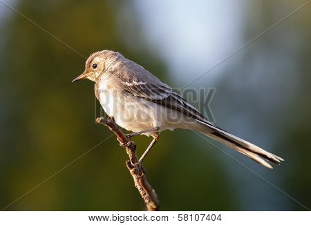 Young Pied Wagtail Sitting On Branch