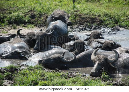 Water Buffalos Wallowing In Mud
