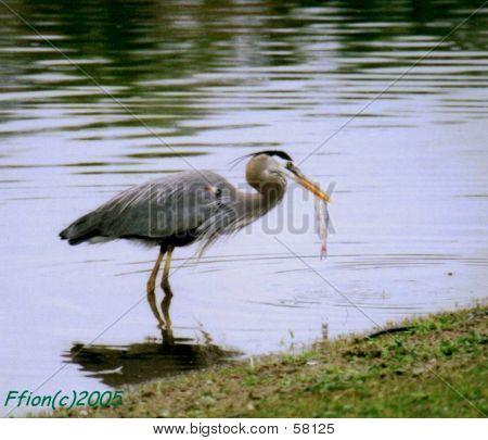 Heron Eating