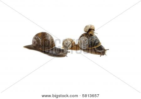 Family Of Snails Isolated Over White.