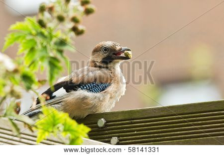 Young Eurasian Jay Feeding In Garden