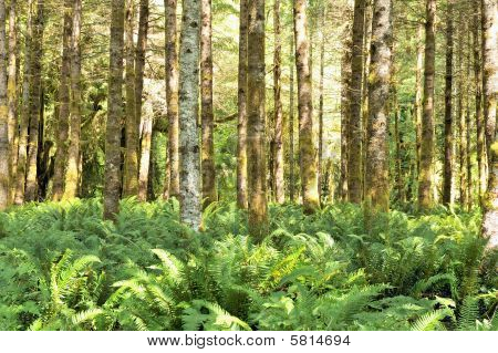 Red Alders And Ferns, Quinault Rainforest, Olympic National Park