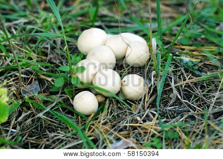 Mushroom Grebe.
