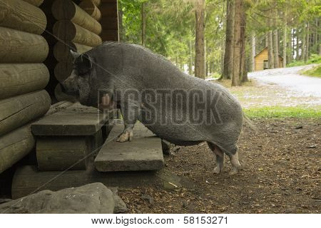 Pig On The Doorstep