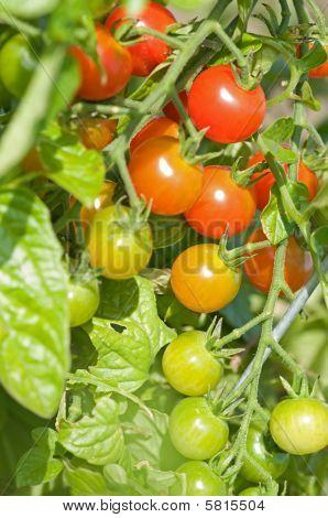Cherry Tomato Vertical