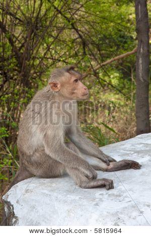 Pensive Bonnet Macaque