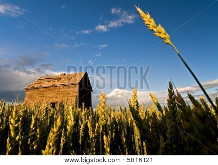 Wheat reaching to the sky