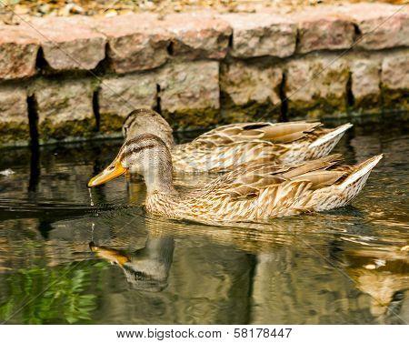 Brown Ducks Floating On Calm Water
