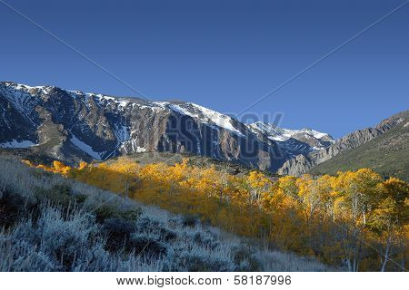 Aspens In Morning Light