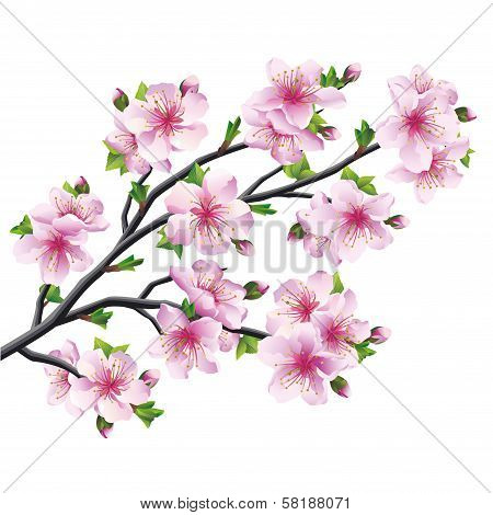 Japanese Tree Sakura, Cherry Blossom Isolated