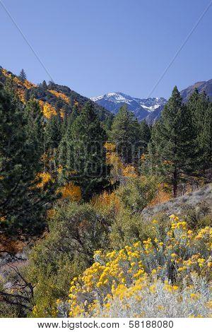 Aspens, Pines, And Rabbit Brush