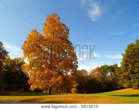 Picturesque autumn landscape with a huge maple tree