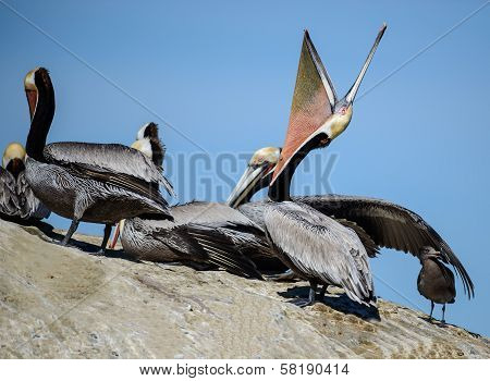 Brown Pelican Pointing