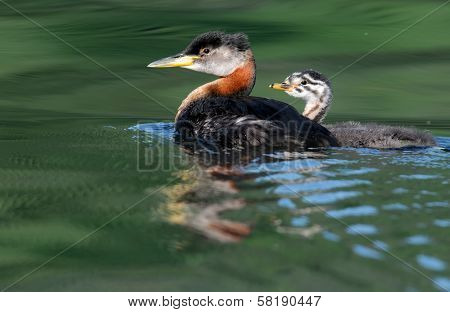 Red-necked Grebe with Chick