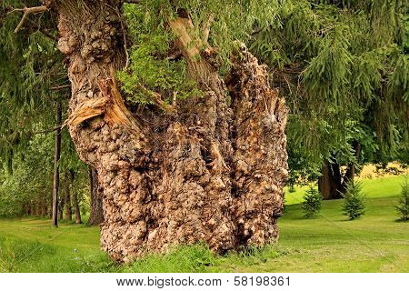 Large Burl Covered Weeping Willow Tree