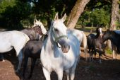 foto of lipizzaner  - White Lipizzan Horses On a Meadow in Summer Sun - JPG