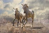 stock photo of thoroughbred  - A pair of white horses running through a meadow - JPG
