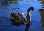 stock photo of southwest  - The Black Swan  - JPG