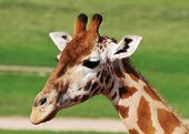 stock photo of terrestrial animal  - The giraffe is an African even - JPG