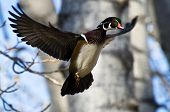picture of ducks  - Male Wood Duck Taking to Flight in Autumn - JPG