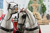 stock photo of blinders  - elegant horses waiting for a ride on Residenzplatz in Salzburg Austria