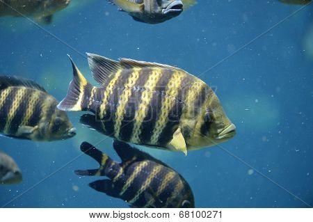Tilapia fish underwater
