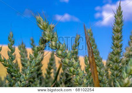 Getreidefeld mit blauen Himmel