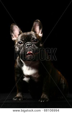 Dark french bulldog on black.