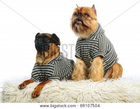 Griffon Bruxellois and Petit brabancon