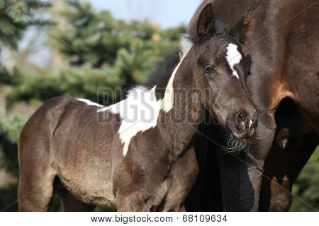 Beautiful Skewbald Foal In Spring