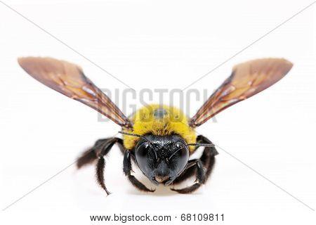 Carpenter bee Xylocopa