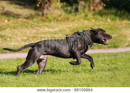 American Staffordshire Terrier dog running