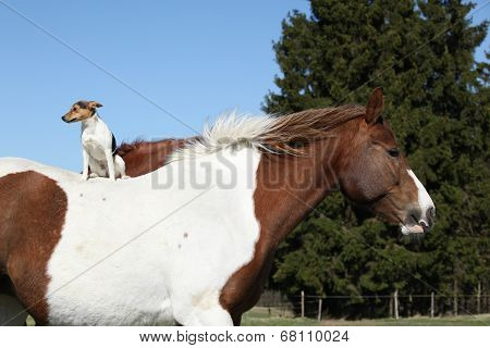 Brave Parson Russell Terrier Sitting On Horse Back