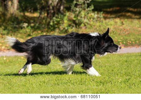 Running border collie