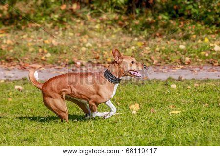 Red basenji running