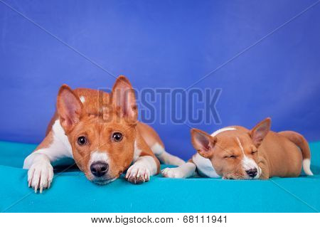 Little basenji puppy with mother on blue