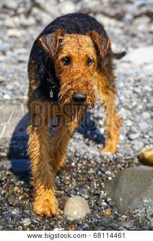 Purebred airedale terrier outdoors