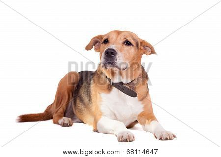 Dog, half russian hound and Pit bull  on white