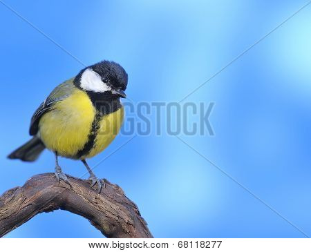Great Tit With Blue Background.