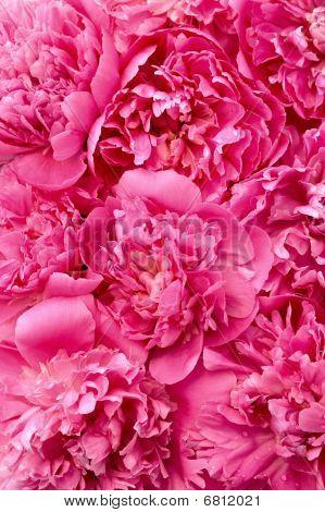 Peony flower heads - background