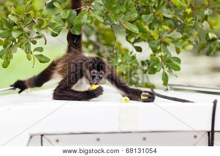 Spider Monkey Eating