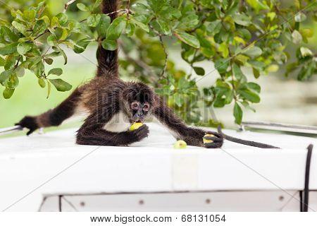 Spider Monkey Eating