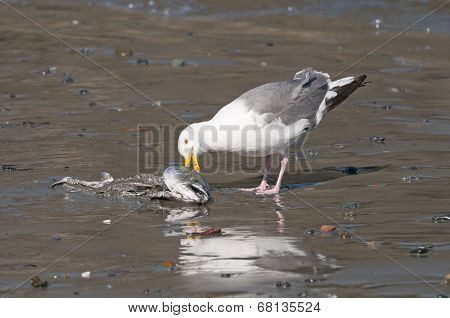 Herring Gull Eating A Dead Fish On The Beach