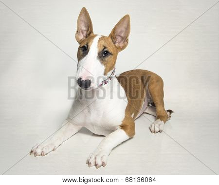 Red and White Bull Terrier Puppy